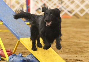 Flat-Coat competing in Agility