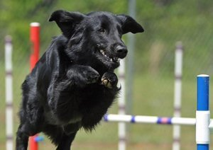 Flat-Coat jumping the high jump in agility.