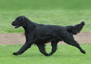 Example of a Flat-Coated Retriever gaiting.