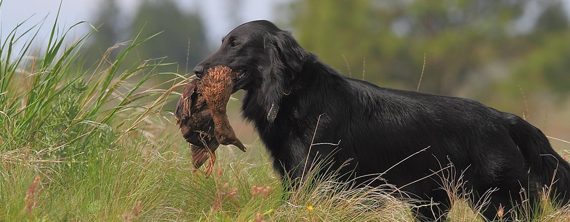 Beautiful example of a black Flat-Coated Retriever.