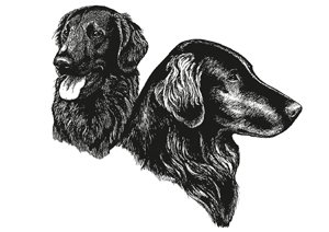 The Flat-Coated Retriever illustrated head for the breed standard.