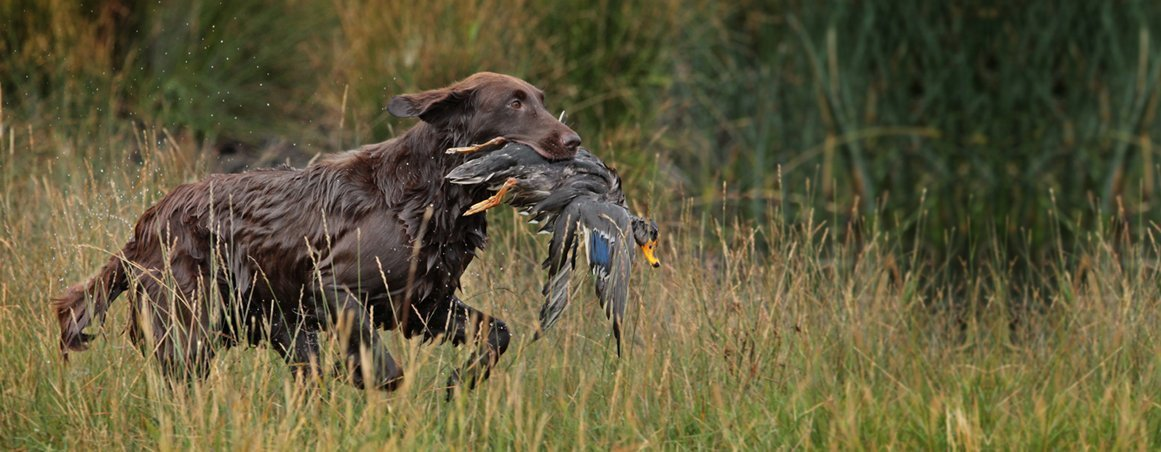 Liver colored Flat-Coated Retriever running in the field with a duck in his mouth.