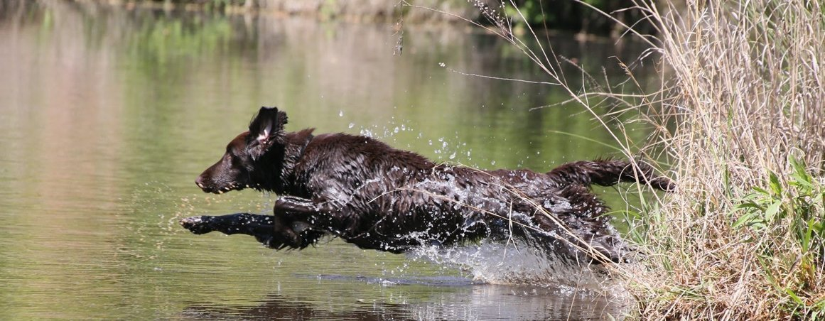 Flat-Coat jumping in the pond.
