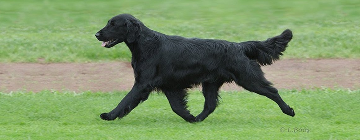Example of sidegate on a Flat-Coated Retriever.