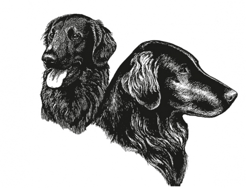 Understanding the Flat-Coated Retriever Head
