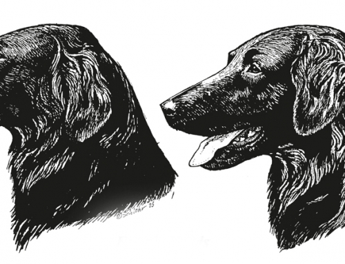 Understanding the Flat-Coated Retriever Head Part 2