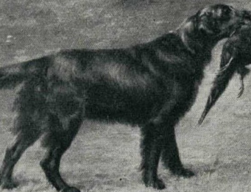 A Brief History of The Flat-Coated Retriever
