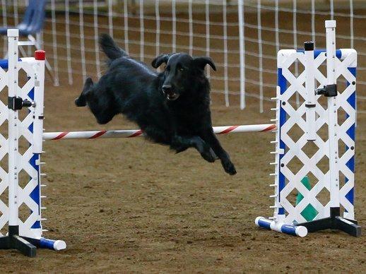 Veteran agility dog jumping